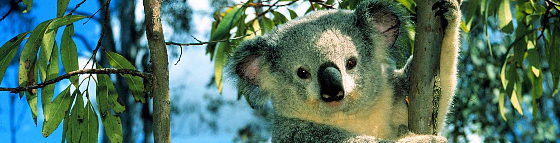 sli-koala